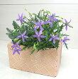 【当店農場生産】イソトマ9センチポット苗かわいい花が咲きます♪