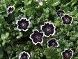 【当店農場生産】ネモフィラ ペニーブラック 9センチポット苗 寒さに強い!可愛いお花です♪