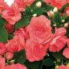 【当店農場生産】バラ咲きインパチェンス ムジカ パステルサーモン 9センチポット苗