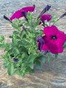 【当店農場生産】ランブリングペチュニア 毎年咲く強いペチュニ...