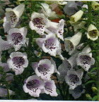【当店農場生産】ジキタリス キャメロット ラベンダー 9センチポット苗 鉢植えや花壇に最適!