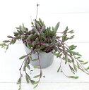 多肉植物 ルビーネックレス 9センチポット