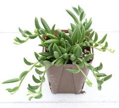 【当店農場生産】多肉植物 三日月ネックレス 7.5センチポット苗