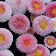 【当店農場生産】デージー・タッソーストロベリー&クリーム9センチポット苗イチゴクリームのような可愛い花を株一面に咲かせます♪