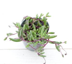 多肉植物 ネックレス