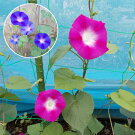 江戸風情単色ピンク5個江戸風情単色薄紫5個セット
