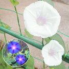 江戸風情単色青紫5個・江戸風情単色白5個セット