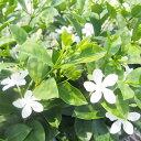 常緑 低木 花