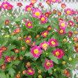 【耐寒性】【多年草】 キク エクセレントマム ピコ TypeA (ポットマム)【花壇】