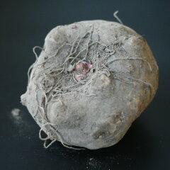 生のこんにゃく芋から作り立てを一度は味わっていただきたい・・・業務用にも平成25年度秋収穫...