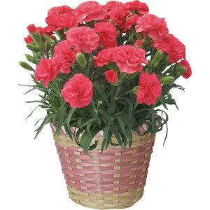 ピンク カーネーション鉢植えピンク カーネーション鉢植え プレゼント ギフト 2012