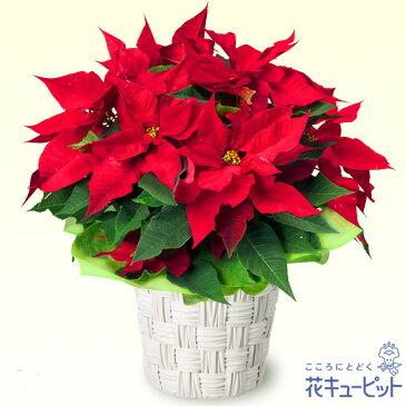 花キューピット【クリスマスフラワー】mm00-511772ポインセチア鉢