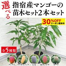 選べるマンゴー苗木