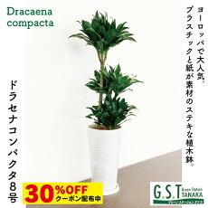 ドラセナコンパクタ8号鉢000