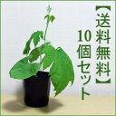 節電・省エネ・エコ生活。グリーンカーテンに!【送料無料】 つる性植物ゴーヤー苗10個セット ...