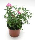 耐病性、開花性に優れたミニバラです。ミニバラ・レンゲローズ・MIX【送料区分:生体】