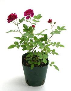 赤紫でぽんぽん咲きの特徴的なお花。ミニバラ・スィートチャリオット【送料区分:生体】