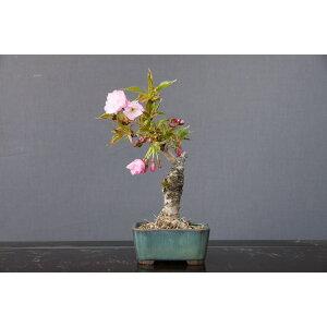 Kazutoen Asahiyama Sakura Small Bonsai / 8 years old