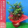 実付き ブルーベリー 鉢植え 母の日 プレゼント トレリス仕立て 5号鉢 送料無料 鉢花 母の日ギフトフラワー 花 ギフト
