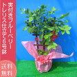 実付き ブルーベリー 鉢植え 母の日 プレゼント トレリス仕立て 6号鉢 送料無料 鉢花 母の日ギフトフラワー 花 ギフト