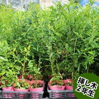 ピンクレモネードブルーベリー挿し木苗ハイブリッド品種ブルーベリー苗木ブルーベリー苗木挿し木