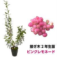 《ピンクレモネード》ブルーベリー接ぎ木苗ハイブリッド品種ブルーベリー苗木接ぎ木苗