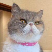【猫】【首輪】iCatアイキャットカジュアルカラーキャンディードット。ドット柄がキュートです