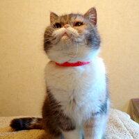 【猫】【首輪】iCatアイキャットキティカラーカラフルピンドット。3.5kgエキゾチックのひまわりちゃんはマゼンタを着用