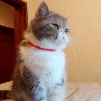 【猫】【首輪】iCatアイキャットキティカラーカラフルピンドット。女の子らしいカラーです