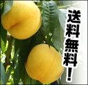 朝収穫してその日に配送!もぎたての美味しい桃!残りわずか順次配送!黄金桃食べ頃の朝採れ黄...