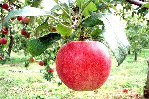 【お試し 福島産 サンふじりんご2.5kg 8〜10玉】