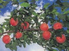 【皇室に献上される福島の桃! 訳有り ご家庭用の大特価 2.5kg(8〜12個)】
