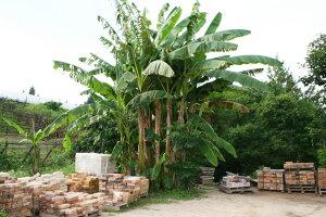 芭蕉バナナの苗80cm程度送料込み