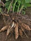 10月末より12月まで発送予定!【数量限定】【予約販売】長野産 ヤーコン 約10k(形や大きさ・色はさまざまで、多少の割ればある場合もあります)収穫の都合上、葉っぱはついてません