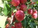 予約販売!希少!小さくてもしっかりリンゴの味があります!リンゴ飴などに!長野産 アルプス乙女 約1000g