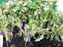 5月より6月頃まで発送!長野より発送します!!さつまいも(ベニはるか)の苗10株農家さんが使っています!!!(終盤になると葉っぱが枯れてきますが、芽ができきます)(同梱不可)