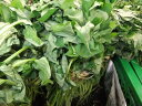5月より6月頃まで発送!長野より発送します!!さつまいも(クイックスイート)の苗10株農家さんが使っています!!!(終盤になると葉っぱが枯れてきますが、芽ができきます)(同梱不可)