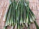 5月下旬から発送!希少です!数量限定!朝採り新鮮発送!長野産みょうが竹(みょうがの新芽)約1000gてんぷらや薬味、味噌汁等に!