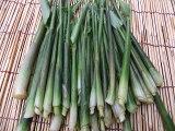 5月下旬から発送!希少です!数量限定!朝採り新鮮発送!長野産 みょうが竹(みょうがの新芽) 約1000gてんぷらや薬味、味噌汁等に!