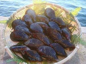 現役漁師採れたて!!天然★活ムール貝(愛知県三河産) 1kg (25個程度)【販…