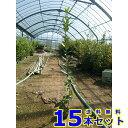 ゲッケイジュ (月桂樹) 10.5p 樹高 0.8m前後 15本 植木 苗木 シンボルツリー 生垣