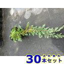 グランドカバー コニファー ウィルトニー (常緑樹 低木) 15.0p 30本 グランドカバー 下草 雑草予防