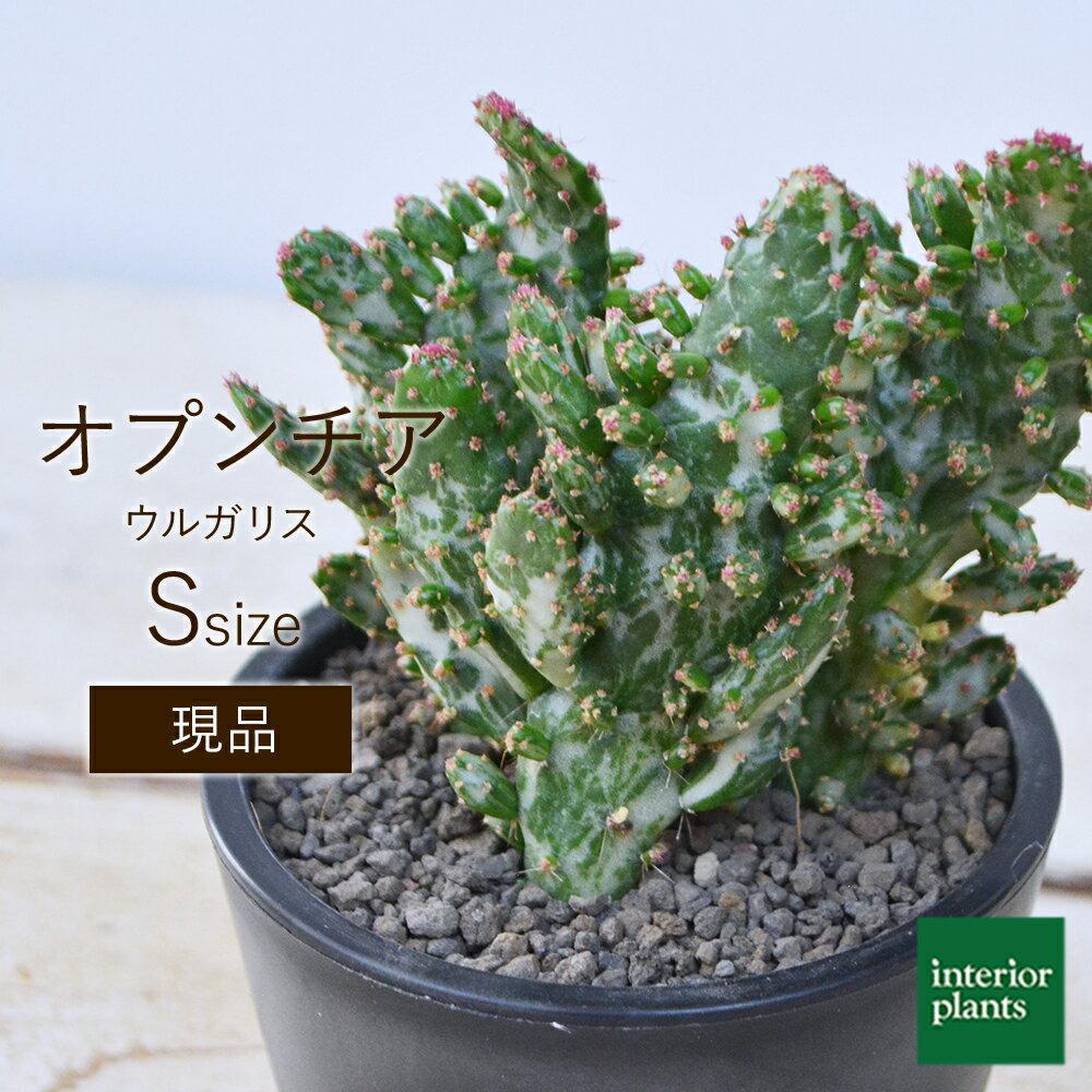 花・観葉植物, 観葉植物  Opuntia vulgaris 3