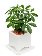 シェフレラ(カポック) ホワイトアーチポット観葉植物 モダン ナチュラル インテリアグリーン …