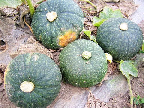 【送料無料】北海道産かぼちゃ 10kg(5~6玉)×1箱(品種は当店におまかせください)【9月上旬発送開始】【常温便】