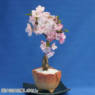 桜のミニ盆栽で人気の旭山!一才桜とも呼ばれます桜盆栽・旭山 ミニ盆栽(一才桜)