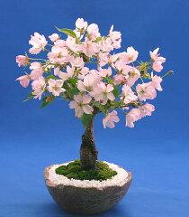 桜の盆栽・旭山(一才桜) ミニ盆栽【苔・石つき】【萬古焼鉢】