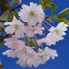 十月桜盆栽【秋と春に開花する品種】