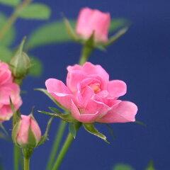 ピンクの小さなバラ、みさき!ミニバラみさきミニ盆栽【白鉢】