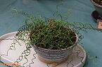 ラセンイ 2号 【春、夏、秋の水生植物】【夏の山野草】【ビオトープ】【苔玉材料】【湿生植物】【湿地性宿根草】【好日性宿根草】
